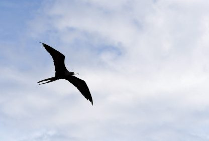 Look up! Magnificent Frigatebird flying overhead in Florida, St. Joseph Sound, postcard