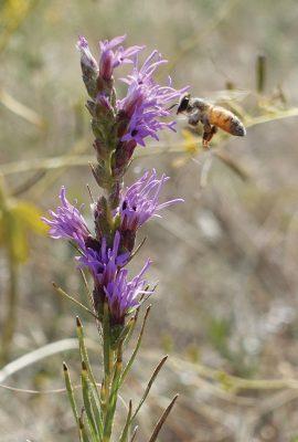 bee in flight, purple wildflower, Colorado, foothills, postcard