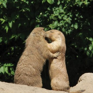 prairie dogs kissing, Berlin, Germany, postcard