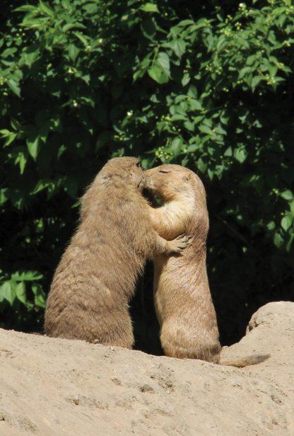 prairie dogs kissing, Berlin, Germany, postcard