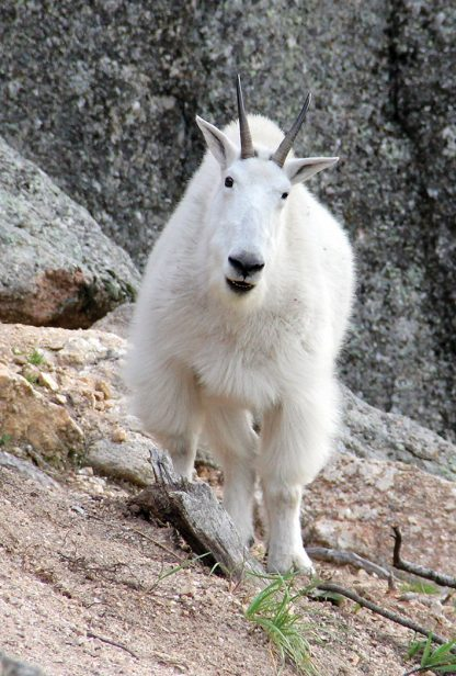 Mountain Goat, Custer State Park, South Dakota, postcard