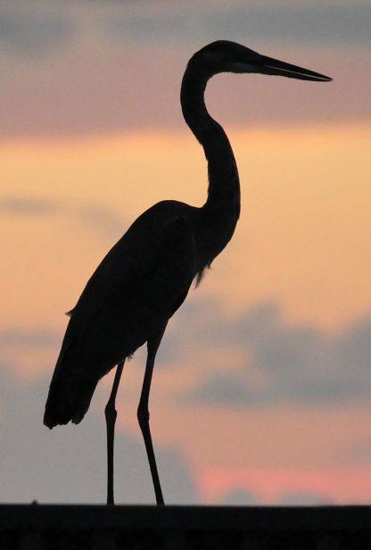 silhouette egret or heron, sunset, Florida, postcard