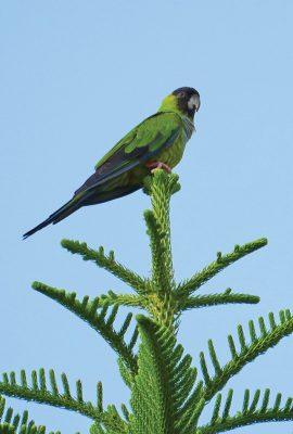 Nanday Parakeet, Black-Hooded Parakeet, Belleair, Florida, postcard