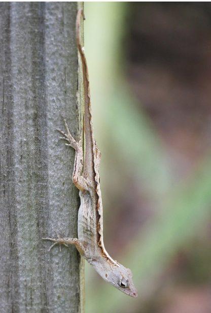 Brown anole lizard, Florida, postcard