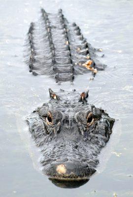 alligator looking at you, lake, Taylor Park, Largo, Florida, postcard