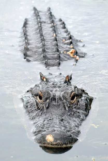 alligator looking at you, lake, Taylor Park, Largo, Florida, postcard
