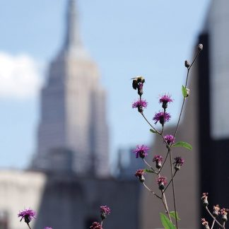 bee, purple flower, empire state building, high line, nyc, king kong, nature takes back, postcard