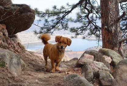 Whiskey dog on trail above lake, Colorado, postcard