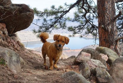 Whiskey dog on trail above lake, Colorado, postcard