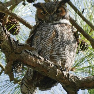 great horned owl, postcard, Honeymoon Island, Florida