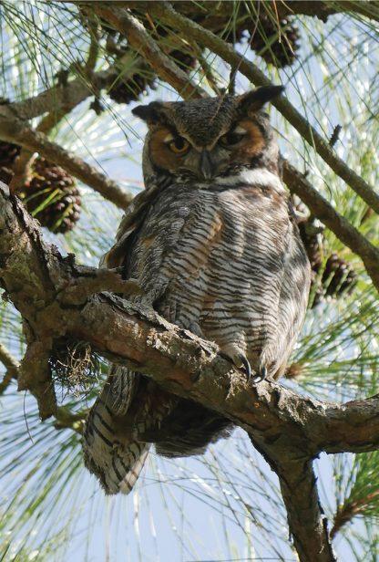 great horned owl, postcard, Honeymoon Island, Florida
