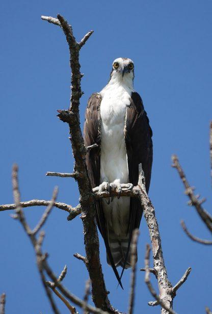 Osprey, Fischadler, postcard, Florida, Honeymoon Island