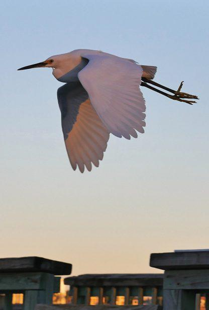 snowy egret, flying, sunset, fishing pier, postcard, sand key, Florida