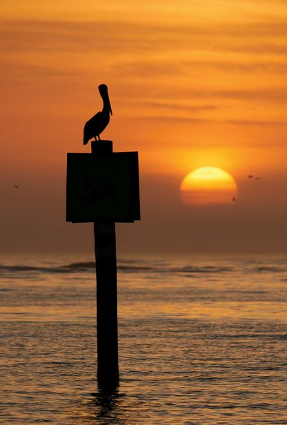 silhouette, pelican on channel marker sign at sunset, Honeymoon Island, Florida, postcard
