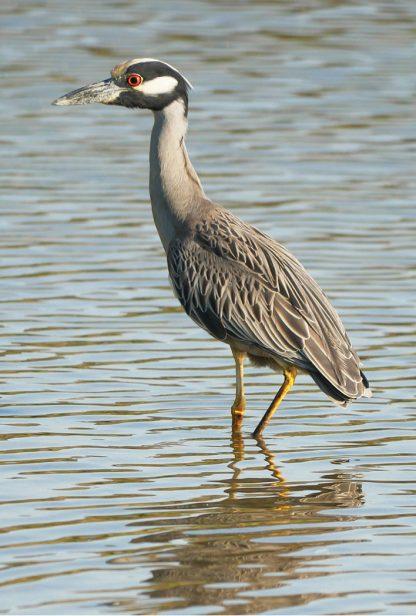 yellow-crowned night heron, belleair, florida, postcard