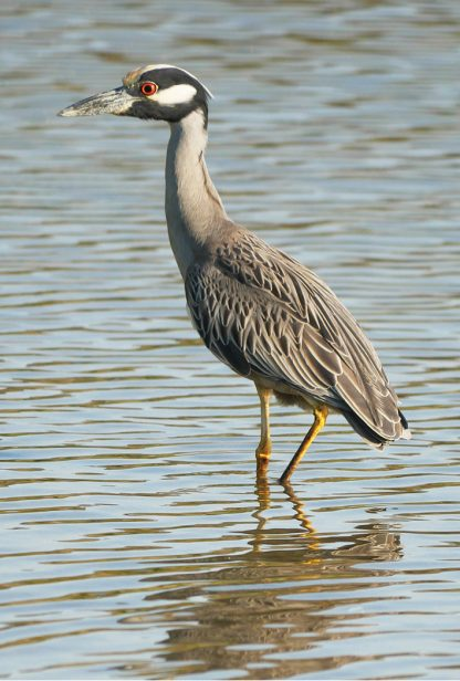 yellow-crowned night heron, belleair, florida, postcard