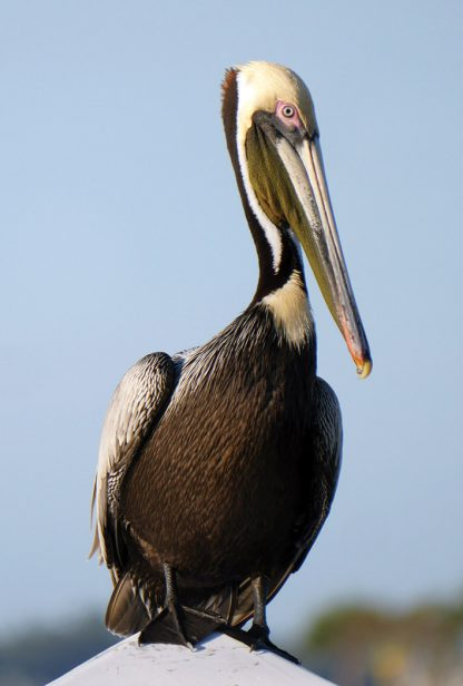 brown pelican, florida, gulf of mexico, belleair, postcard