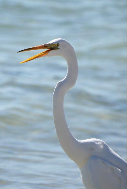 great white egret, talking, postcard