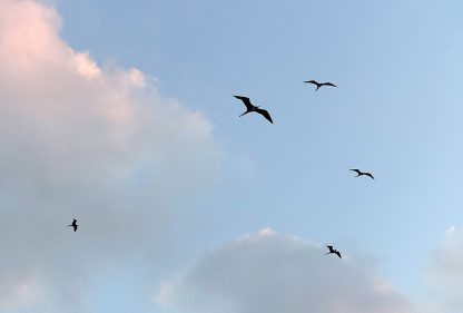 Look up: Magnificent Frigatebirds flying above, Tulum, Mexico, postcard