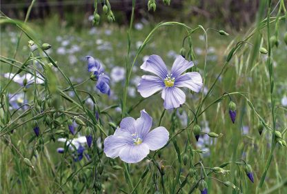 wild blue flax, blue purple wildflower, postcard