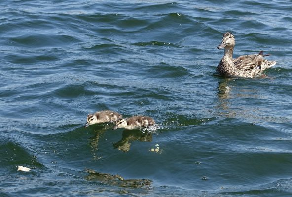 ducks, chasing chicks, lake, Colorado, postcard
