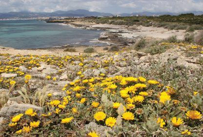 Yellow wildflowers, beach, Mallorca, Palmas, postcard