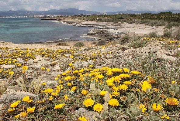Yellow wildflowers, beach, Mallorca, Palmas, postcard