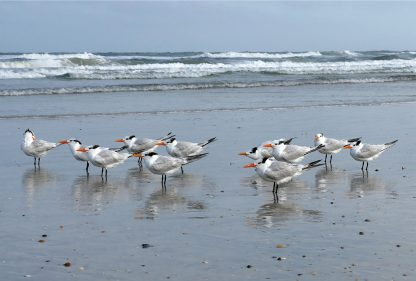 Royal Terns, Anastasia Island, beach, Florida, postcard