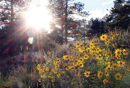 Sun reaches yellow wildflowers, Red Feather Lakes, Colorado, postcard