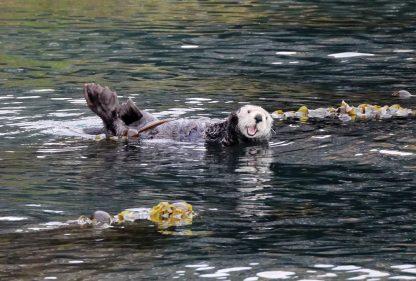 Waving sea otter in Kachemak Bay Alaska postcard
