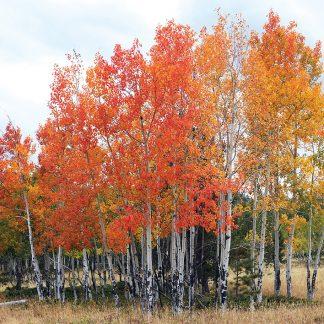 All the colors aspen trees fall foliage, postcard