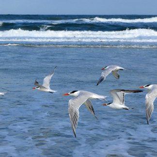 Royal Terns in flight, Anastasia Island, Florida, postcard