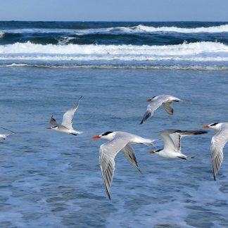 Royal Terns in flight, Anastasia Island, Florida, postcard