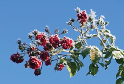 Hoarfrost covered red roses, blue sky, postcard