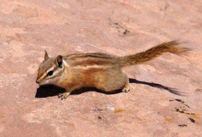 Chipmunk, Canyonlands, Utah, postcard