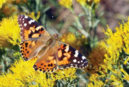 Painted Lady butterfly on yellow wildflower, postcard