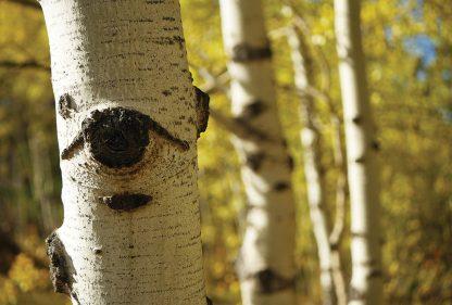 Aspen tree eye, fall foliage, Colorado, postcard