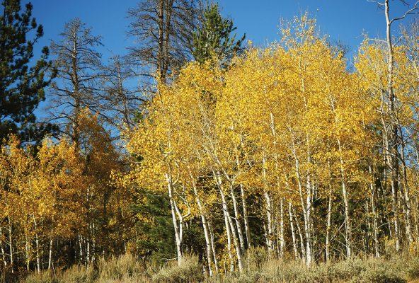 Yellow aspen trees, autumn leaves, fall foliage, blue sky, postcard, Colorado