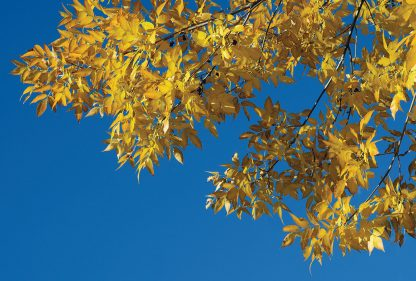 Yellow autumn leaves, fall foliage, blue sky, postcard