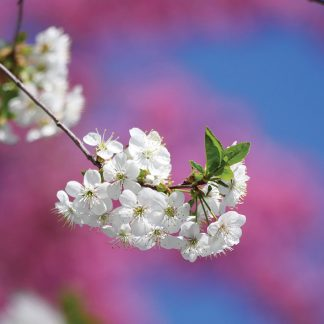 white and pink spring blossoms postcard