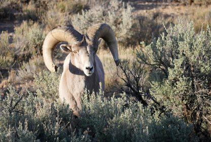 Big Horn Sheep, Rio Grande, New Mexico, postcard