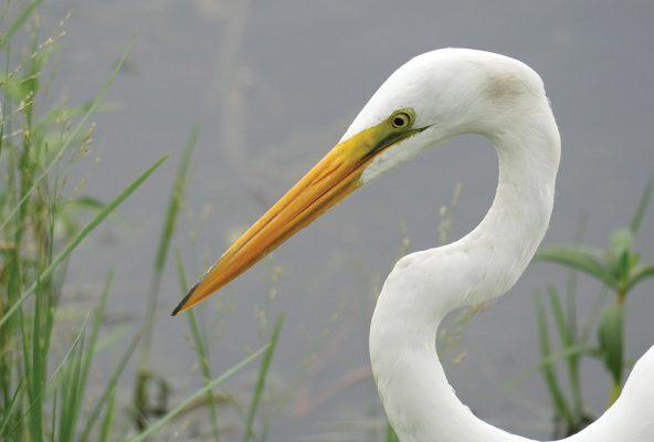 Great White Egret, face, bend neck, postcard, Florida