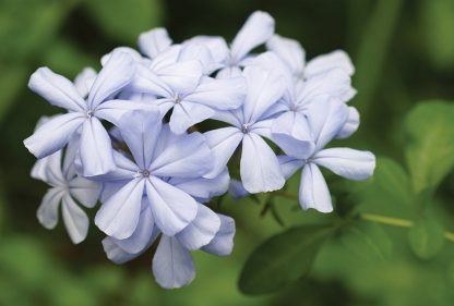 purple plumbago blooms, postcard