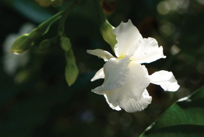 white bloom in the dark, lit by sun, nature postcard