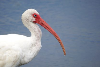 ibis, bird, Florida, postcard
