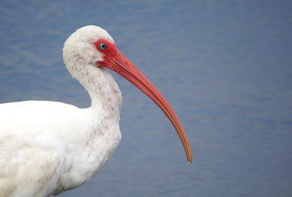 ibis, bird, Florida, postcard