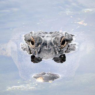 alligator, Largo, Florida, postcard