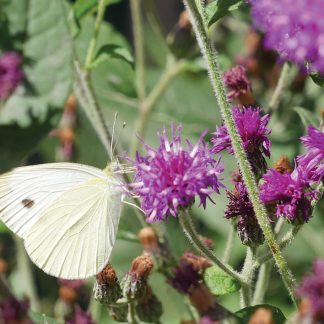 Cabbage white buttefly on purple wildflower, postcard