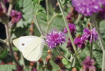 Cabbage white buttefly on purple wildflower, postcard