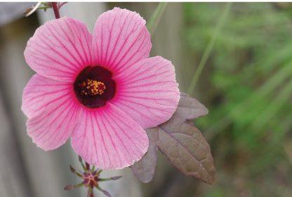 Cranberry Hibiscus bloom, African rosemallow flower, postcard